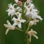 Bobrek trójlistkowy Menyanthes trifoliata L.  fot. Katarzyna Kiaszewicz