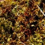 Drabinowiec mroczny Cinclidium  stygium i limprichtia pośrednia Limprichtia cossonii fot. Robert Stańko