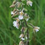 Kruszczyk błotny Epipactis palustris (L.) Crantz fot. Katarzyna Kiaszewicz