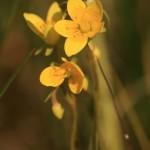 Skalnica torfowiskowa Saxifraga hirculus (2) fot. Paweł Pawlikowski