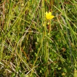 Skalnica torfowiskowa Saxifraga hirculus (4) fot. Robert Stańko
